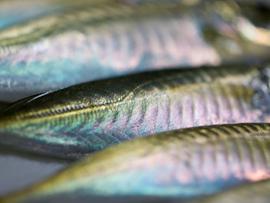 アジの栄養と簡単レシピ 春が旬の魚