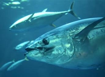 カツオの栄養 春が旬の魚|おいしいレシピもご紹介