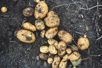新じゃがいもの栄養と簡単レシピ|春の旬野菜