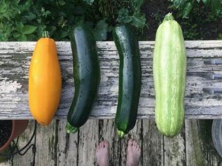 ズッキーニ|初夏が旬の野菜