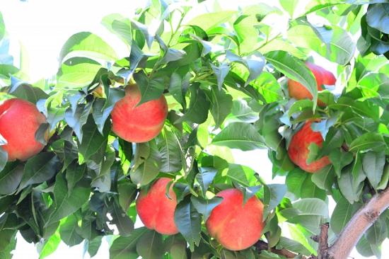 果肉以外の桃の凄い効果