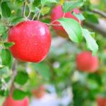 生活習慣病予防にも!りんごの栄養とレシピ