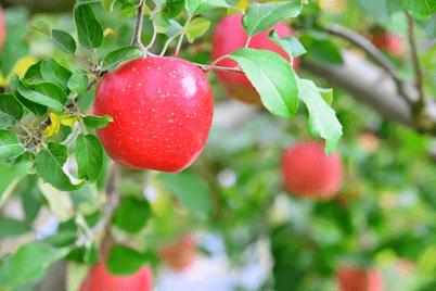 【王林など】りんごの栄養とレシピ|生活習慣病予防にも!