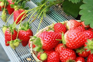 美味しい苺の選び方と食べるときの注意点